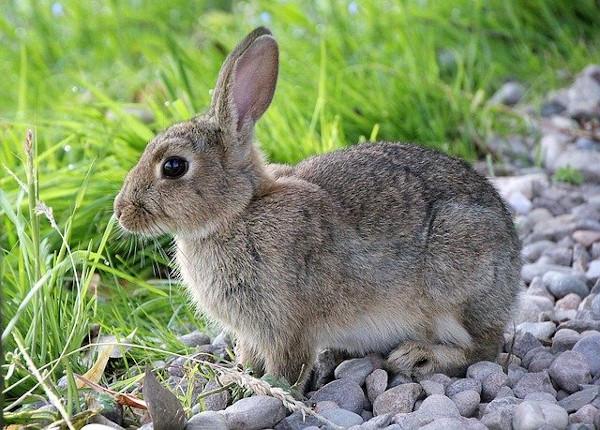 Caccia coniglio al selvatico