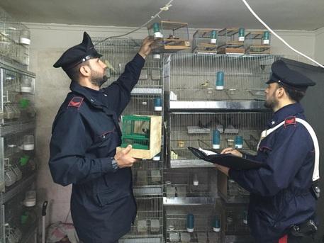 Carabinieri mentre requisiscono le gabbie con i volatili