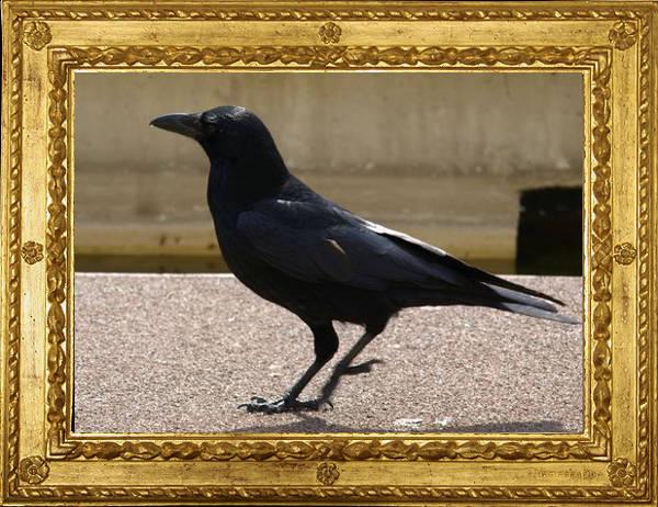 Cornacchia nera