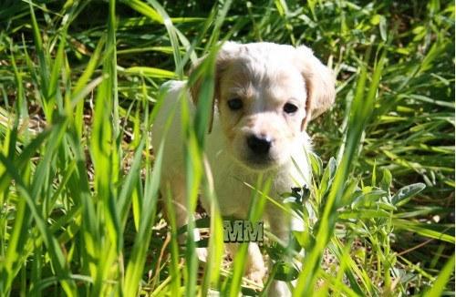 Cucciolo di Breton nell'erba