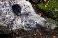 Pesaro, cacciatore attaccato da cinghiale muore dissanguato