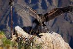 Il Condor Andino, il più efficiente volatore. Anche 160km con un sol battito d'ali