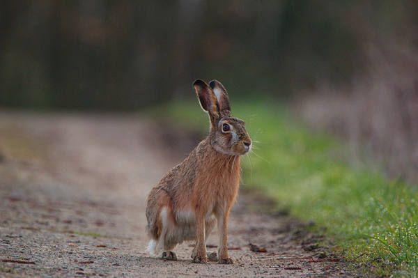 Febbre dei conigli pericoli