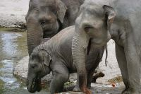 L'elefante asiatico a rischio estinzione!