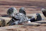 Lombardia, via libera alla caccia di storni e colombi selvatici in deroga