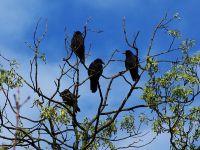 Ferrara, si incentiva la caccia ai corvidi con stampi e cartucce