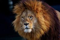 Bracconieri divorati dai leoni in SudAfrica