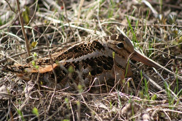 Beccaccia nascosta fra erba