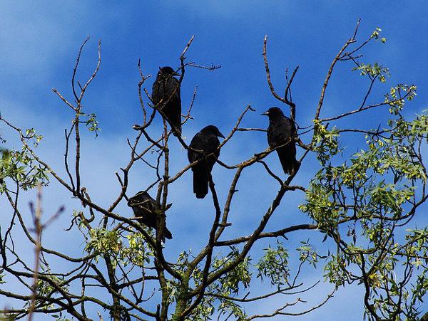 Cornacchie posate cima albero