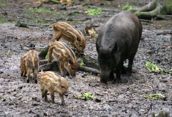 Famiglia Cinghiali Lazio