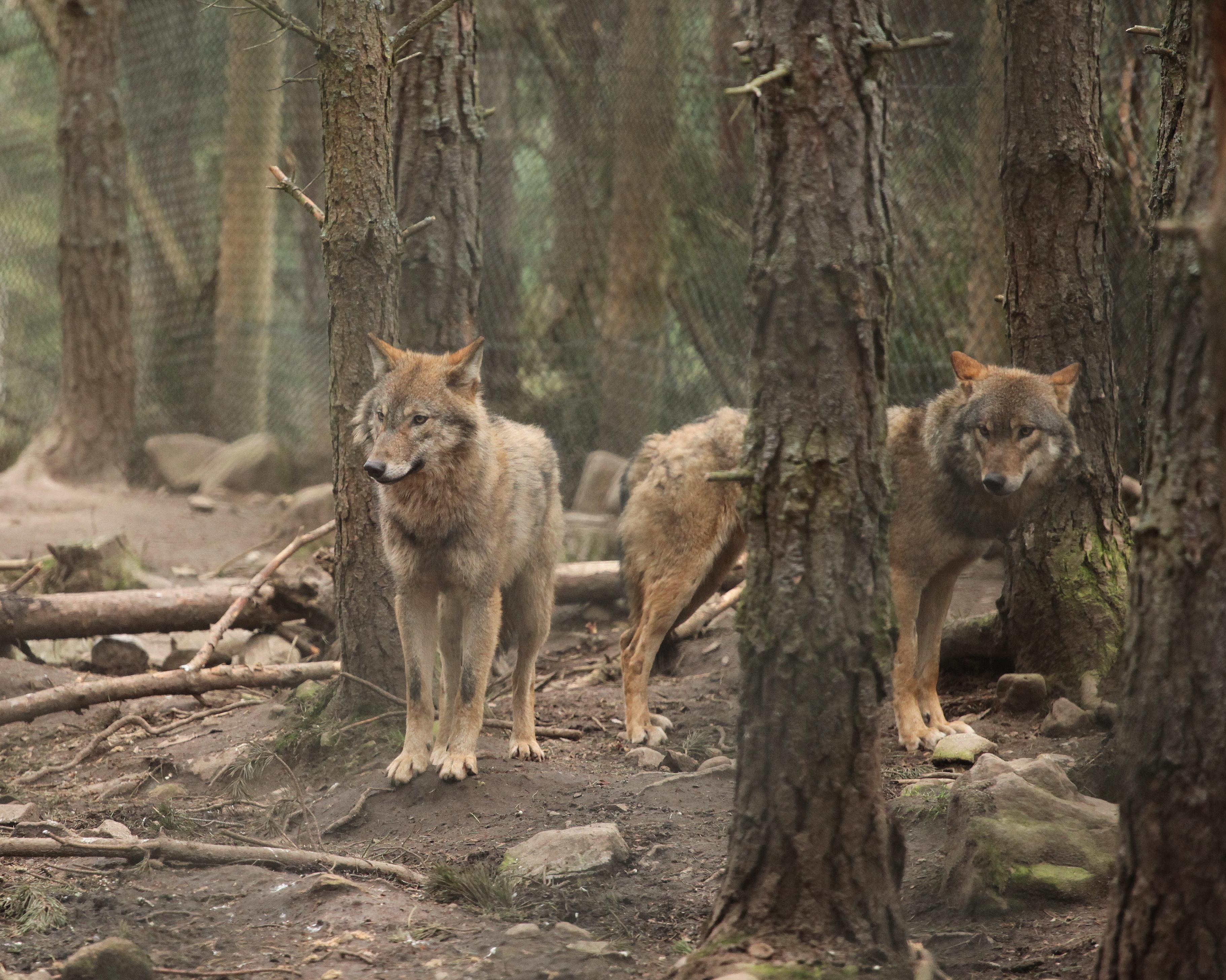Lupi nordici