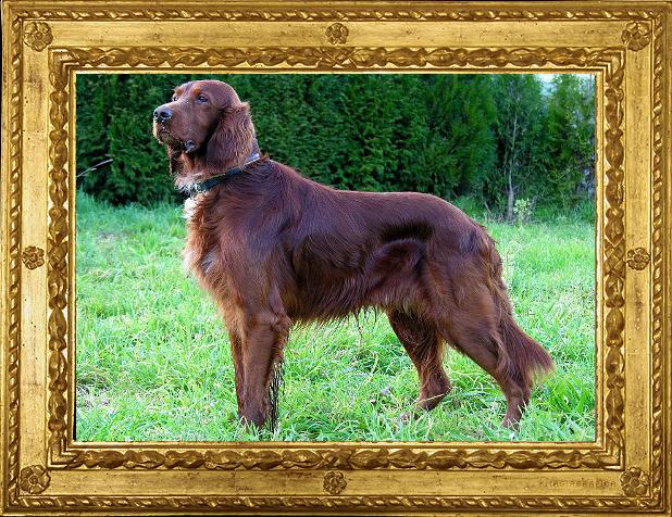 Visualizza articoli per tag cani da ferma community for Setter irlandese carattere
