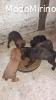 Cuccioli maremmano