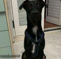 Manchester terrier